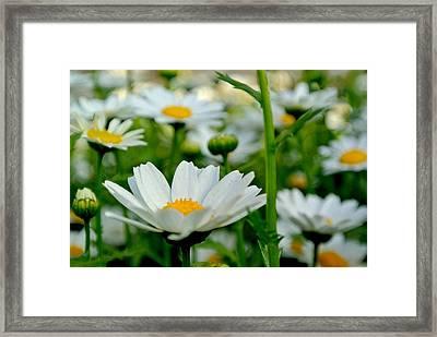 Daisies 3 Framed Print