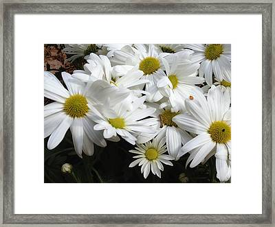 Daisies Framed Print by Alan Lakin