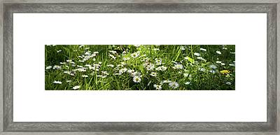 Daisies Blooming In A Field Framed Print by Panoramic Images