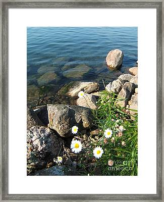 Daisies By The River Framed Print by Margaret McDermott