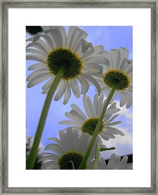 Daisies From Down Under Framed Print by Marisa Horn