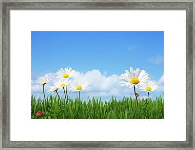 Daisies In A Summer Meadow Framed Print by Andrew Dernie