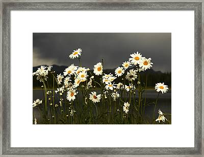Daisies In Storm Light Framed Print