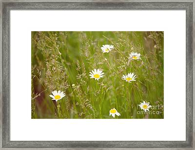 Daisies In The Meadow Framed Print