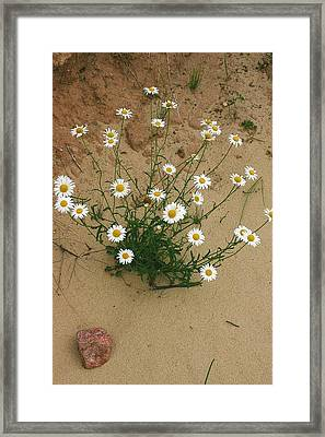 Daisies In The Sand Framed Print by Randy Pollard