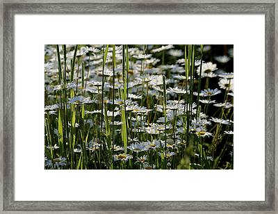 Daisies Framed Print by Jim Gillen