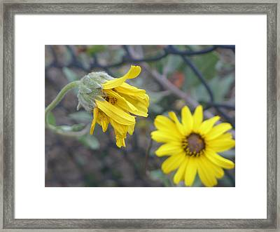 Daisies Framed Print by Nora Boghossian