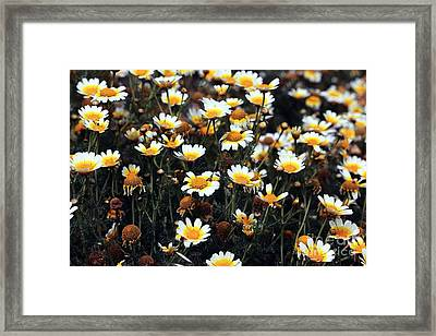 Daisies On Delos Framed Print by John Rizzuto