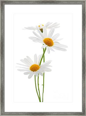 Daisies On White Background Framed Print