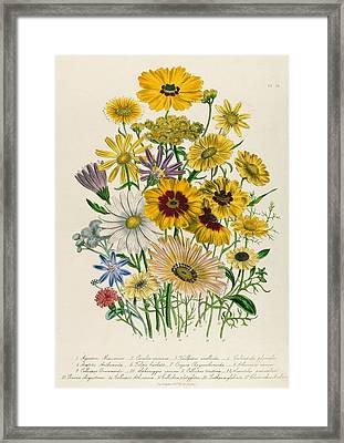 Daisies Framed Print by Jane Loudon