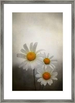 Daisies Framed Print by Svetlana Sewell