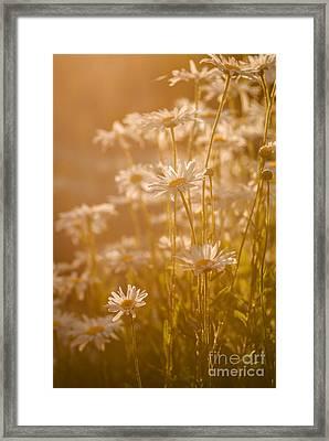 Daisies Under Warm Sunlight Framed Print by Vishwanath Bhat