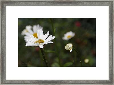 Smiling Daisies Framed Print by Yvonne Wright