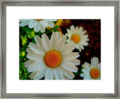 Framed Print featuring the photograph Daisy 1 by Tamara Bettencourt