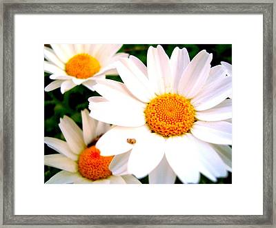 Framed Print featuring the photograph Daisy 2 by Tamara Bettencourt