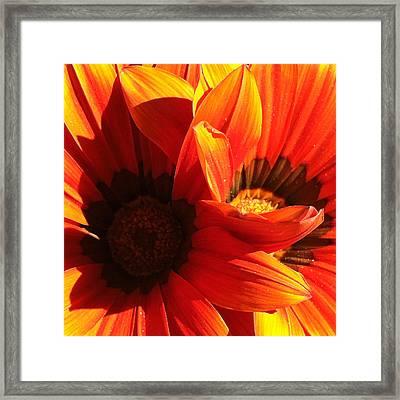 Daisy 3-1 Framed Print by Ann Pelaez