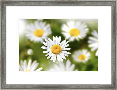 Daisy Among Daises Framed Print by Martin Joyful