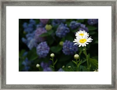Daisy Among Hydrangeas Framed Print by Leigh Ann Hartsfield