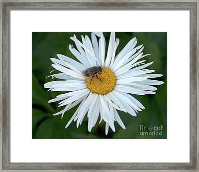 Daisy And Bee Framed Print