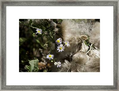 Daisy And Dandelion Framed Print by John Holloway