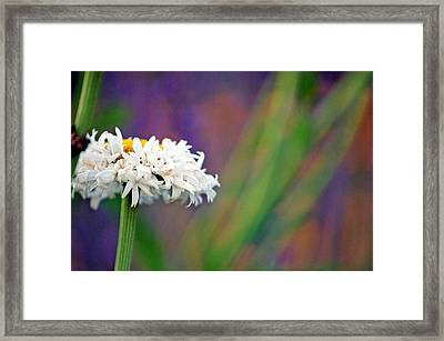 Daisy At Attention Framed Print