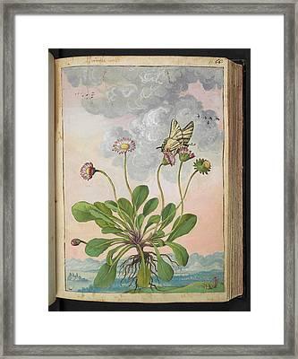 Daisy (bellis Perennis) Framed Print