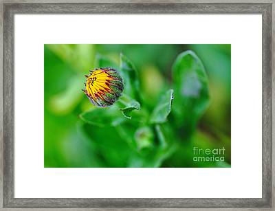 Daisy Bud Ready To Bloom Framed Print by Kaye Menner