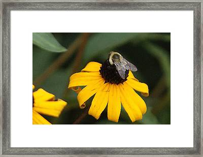 Daisy Bumble Bee Framed Print by B Wayne Mullins