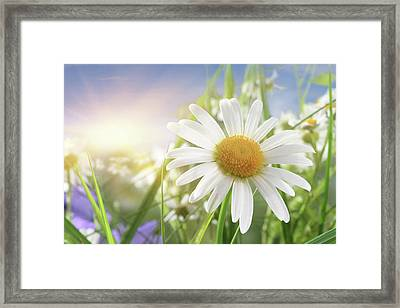 Daisy Close-up In Sunlight Framed Print by Pobytov