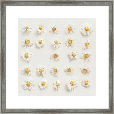 Daisy Collection Framed Print by Cassia Beck