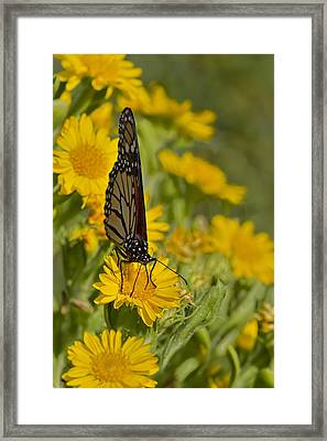 Framed Print featuring the photograph Daisy Daisy Give Me Your Anther Do by Gary Holmes