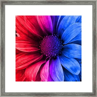 Daisy Daisy Red To Blue Framed Print