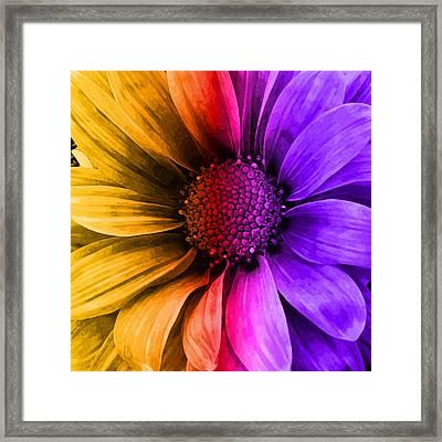 Daisy Daisy Yellow To Purple Framed Print