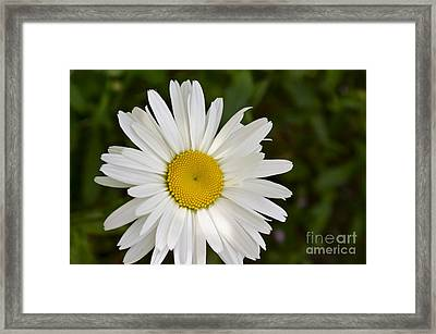 Daisy Day Framed Print by Maria Janicki