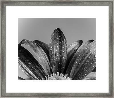 Daisy Dew B/w Framed Print