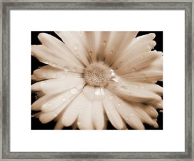 Daisy Dream Raindrops Sepia Framed Print by Jennie Marie Schell