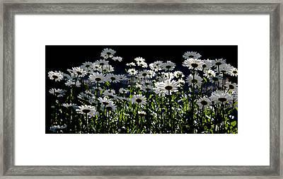 Daisy Field Framed Print