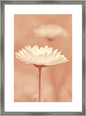 Daisy Flower In Pose Peach Pastel Framed Print by Jennie Marie Schell