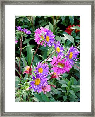 Daisy Flowers  Framed Print by Sanjeewa Marasinghe