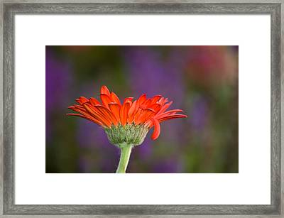 Daisy For Monet Framed Print