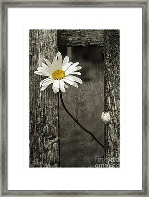 Daisy - Fs000357-a Framed Print by Daniel Dempster