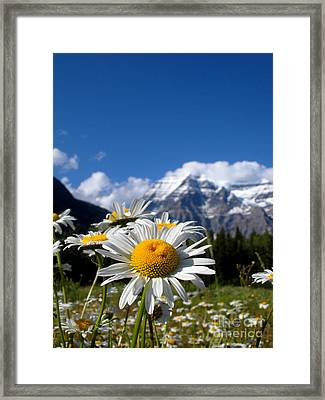 Daisy In Rocky Mountains Framed Print by Sophia Elisseeva