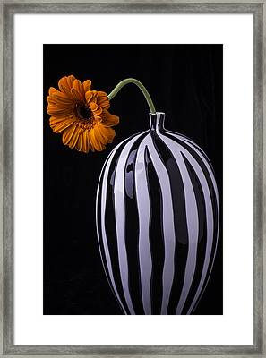 Daisy In Striped Vase Framed Print by Garry Gay
