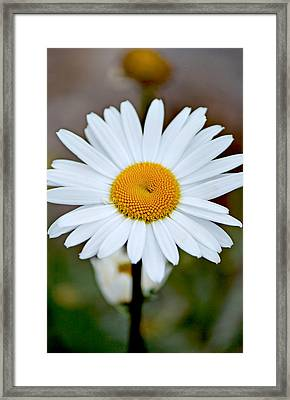Daisy In The Morning Framed Print by Andrew Chianese