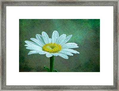 Daisy In The Rain Framed Print