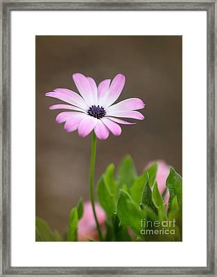 Daisy Mae Framed Print by Sabrina L Ryan