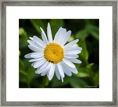 Framed Print featuring the photograph Daisy by Phil Abrams