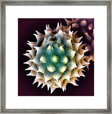Daisy Pollen Framed Print by Louise Hughes