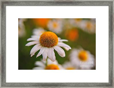 Daisy Power Framed Print by Terri Gostola