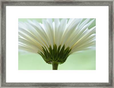 Daisy Sweetness Framed Print